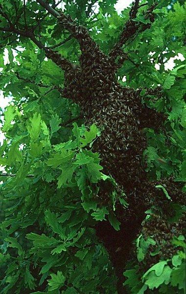 33)Bienenschwarm einfangen