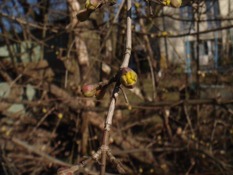 Kornelblüte