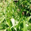 Spitzwegerich - Blätter und Blüten