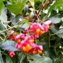 Pfaffenhütchen Frucht (600x800)