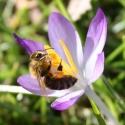 Biogarten-Biene im Krokus