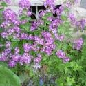 Mondviole, magentafarbene Blüten - zum Teil mit weißer Zeichnung