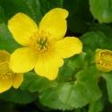 Sumpfdotterblume - Blüte und Blätter