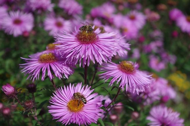 beheimatet indische blühende pflanzen