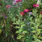 Chrysantheme ganz