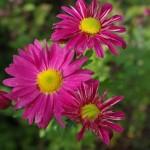 Blüten einer Gartenchrysantheme