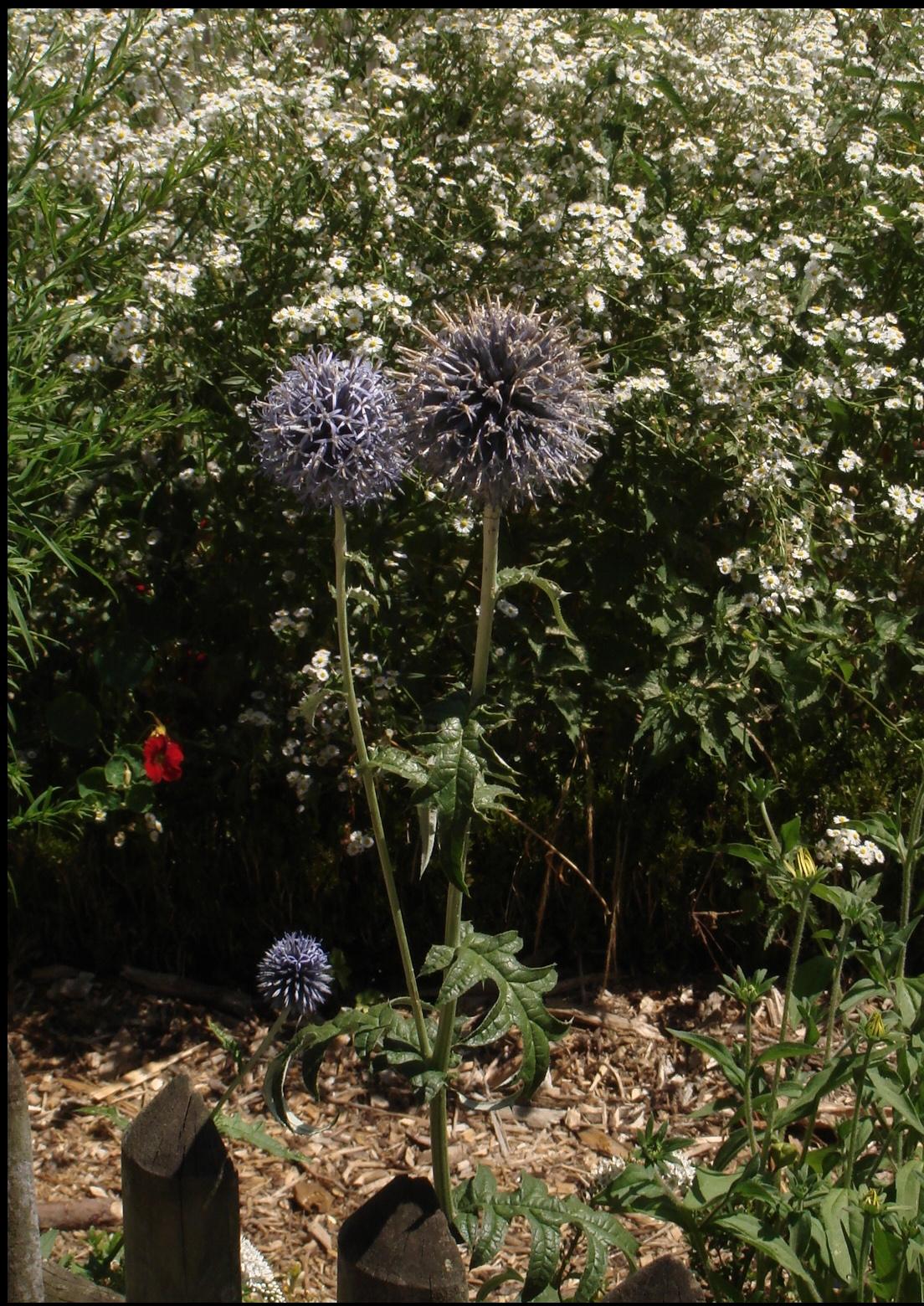 Pflanze des Monats August 2018: Kugeldistel