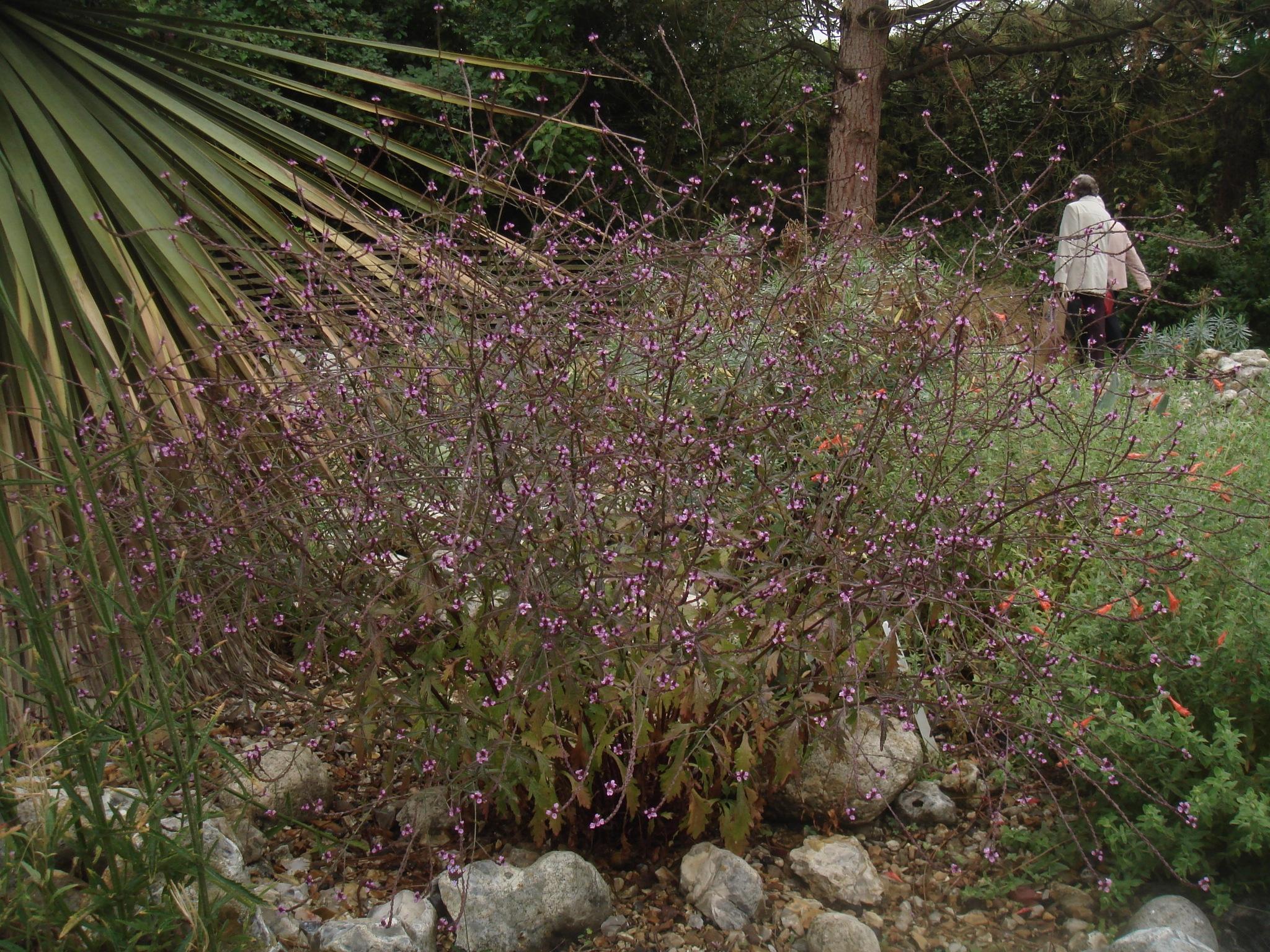 Pflanze des Monats September: Eisenkraut