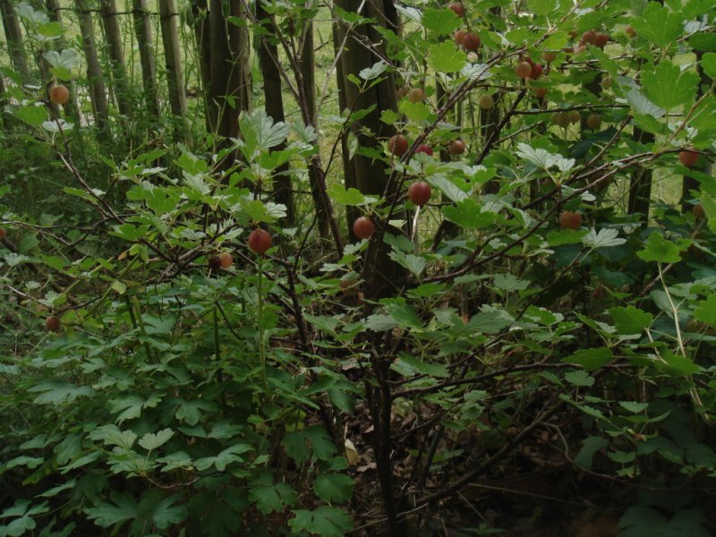 Pflanze des Monats Juli 2018: Stachelbeere