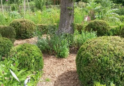 Buchsbaumzünsler – Ein Bericht aus Beobachtungen im VHS Biogarten Thurner Hof