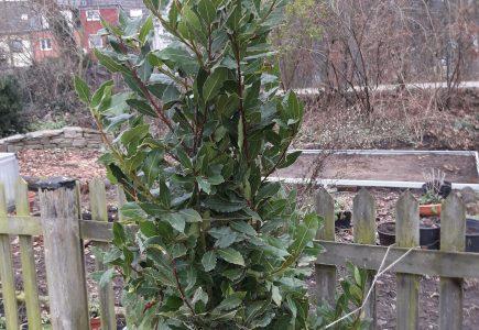 Pflanze des Monats Februar: Echter Lorbeer – Laurus nobilis