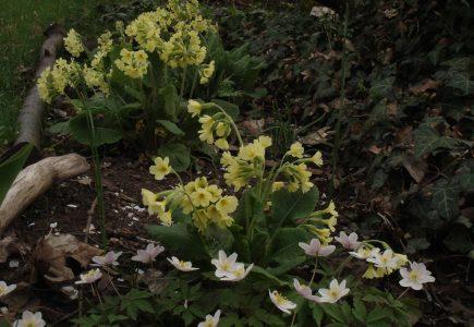 Pflanze des Monats März – Hohe Schlüsselblume