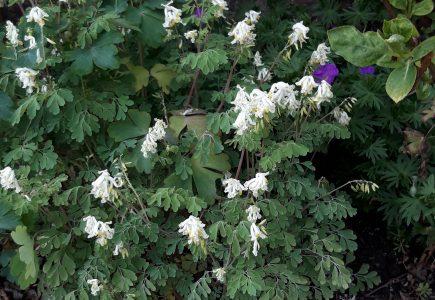 Pflanze des Monats Mai – Weißer Lerchensporn