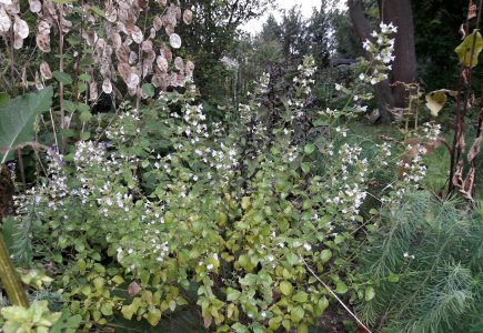 Pflanze des Monats September – Bergminze