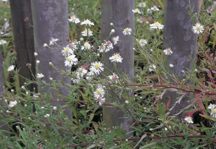 Pflanze des Monats Oktober: Myrtenaster