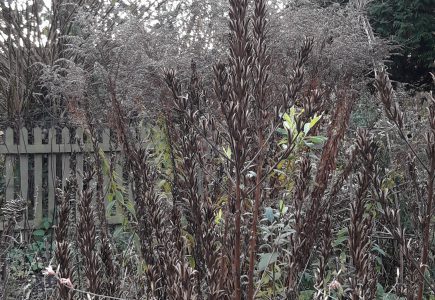 Pflanze des Monats November: Nachtkerze