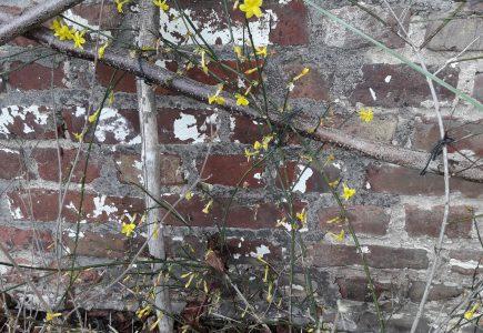 Pflanze des Monats Februar: Winterjasmin