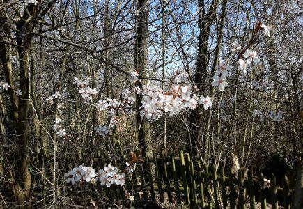 Pflanze des Monats März: Wildpflaume