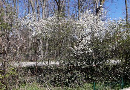 Pflanze des Monats April: Schlehe