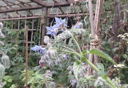 Pflanze des Monats Juli: Borretsch